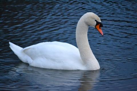 """Swan""by Bridget Martin"